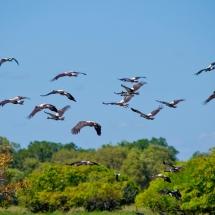 Wildman Fishing Tours - Magpie Geese