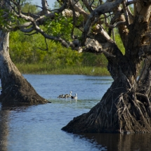 Wildman Fishing Tours - Whistling Ducks